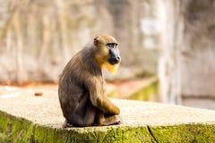 Mandrilapa i den Artis zoo Arkivfoton
