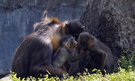 mandrill家庭 库存图片