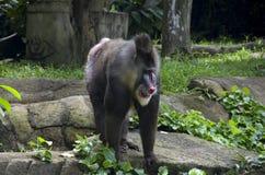 Mandrill猴子在新加坡动物园里 免版税库存照片