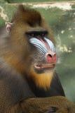 mandrill猴子 库存照片