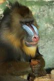 mandrill猴子 免版税库存照片