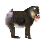 Mandrill, Mandrillus狮身人面象, 22岁 免版税库存图片