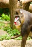 mandrill павиана Стоковая Фотография RF