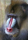 mandrill павиана Стоковые Фотографии RF