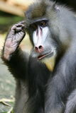 mandrill павиана Стоковое Изображение RF