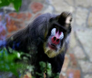 mandrill 猴子在动物园里 库存照片