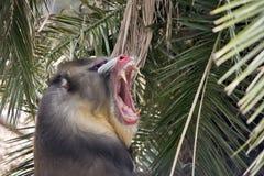 mandrill Стоковое Изображение RF