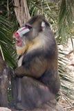 mandrill Стоковые Фотографии RF