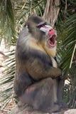 mandrill Стоковые Фото