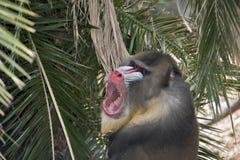 mandrill Стоковое фото RF