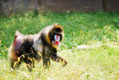 Mandrill Royalty Free Stock Images