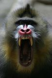 Mandrill stock images