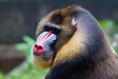 Free Mandrill Royalty Free Stock Images - 13942749