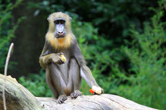 The Mandrill Royalty Free Stock Images