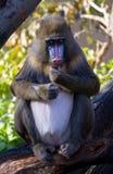 mandrill Стоковая Фотография RF