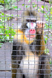 Mandrill Royalty Free Stock Image