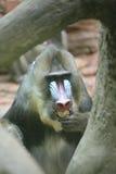 猿mandrill 免版税库存图片