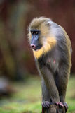 Mandrill Royalty Free Stock Photo