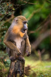 Mandrill. Male mandrill perched on wooden post Royalty Free Stock Image