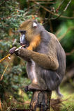 Mandrill Stock Photos