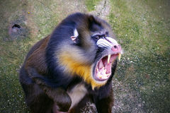 Mandrill Stockfotos