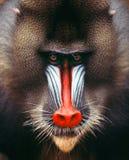 mandrill Стоковое Фото