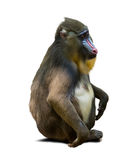 mandrill Photo stock