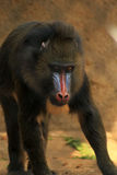 mandrill Images stock