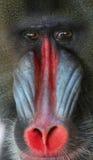 mandrill Стоковая Фотография