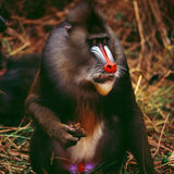 mandrill foto de stock royalty free