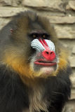 Mandrill. Closeup of a colorful male Mandrill making a face Royalty Free Stock Images