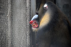 Mandrill Fotos de Stock