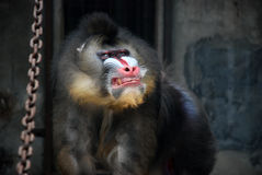 Free Mandrill Stock Images - 5365274