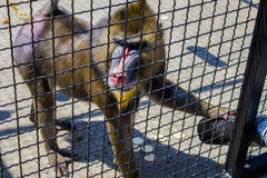 mandrill photos stock