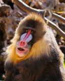 mandrill Royaltyfria Bilder