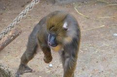 Mandrill-Affe an Artis-Zoo Amsterdam die Niederlande Stockfotografie
