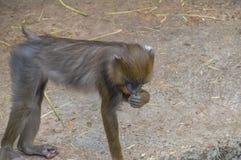 Mandrill-Affe an Artis-Zoo Amsterdam die Niederlande Stockbilder