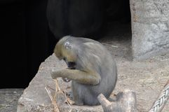 Mandrill-Affe an Artis-Zoo Amsterdam die Niederlande Lizenzfreie Stockbilder