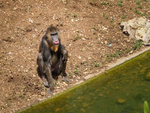 Mandrill-Affe, biblischer Zoo in Jerusalem, Israel Stockbild