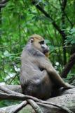 Mandrill-Affe, der auf einem gefallenen Baum sitzt Stockbilder