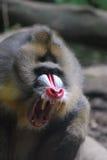 Mandrill-Affe mit den scharfen Zähnen mit seinem Mund offen Lizenzfreie Stockfotografie