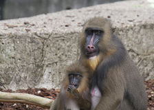 Mandrill Affe mit Jungen Stockfotografie