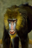 Mandrill Ape Monkey, Primate Baboon Animal. African Mandrill monkey or ape. This wildlife primate animal from Arfica is a live mammal that resides in a zoo. Part stock images