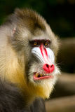 Mandrill Baboon. An angry and fierce looking Mandrill Baboon Royalty Free Stock Photo