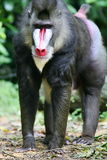 Mandrill Baboon. A shot of a Mandrill Baboon in the wild royalty free stock photography