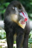 Mandrill Baboon. A shot of a Mandrill Baboon in the wild royalty free stock images