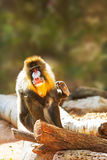 Mandrill Baboon Looking At Camera Scratching. Colorful Mandrill Baboon sitting outside and looking forward at the camera while raising his hand to scratch stock photography