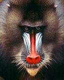 Mandrill. Baboon monkey africa Gabon muzzle head face look ape Stock Photo