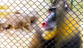 Mandrill Baboon monkey colorful behind a cage. Mandrill Baboon monkey colorful face behind a cage royalty free stock images
