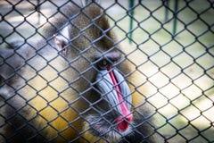 Mandrill Baboon monkey sad face. Behind a cage royalty free stock photography